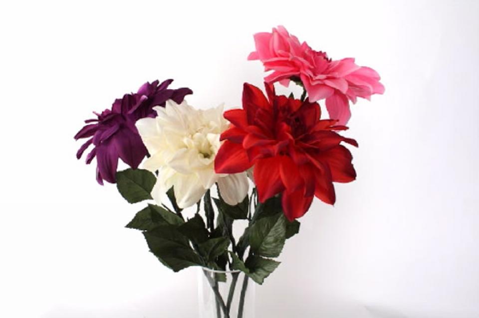 Cvet georgina u raznim bojama